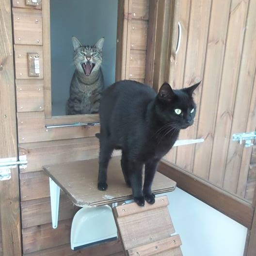 Black Cat and Yawning Tabby Cat at Hickstead Lodge Cattery
