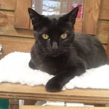 Black Cat on White Bed at Hickstead Lodge Cattery