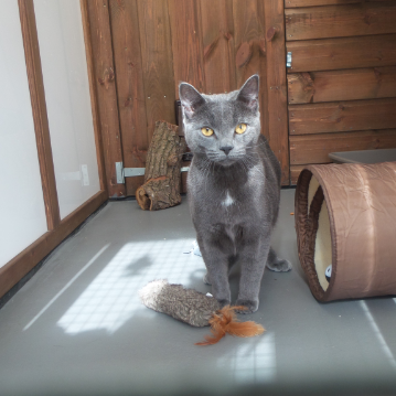 Chartreux Eyes at Hickstead Lodge Cattery