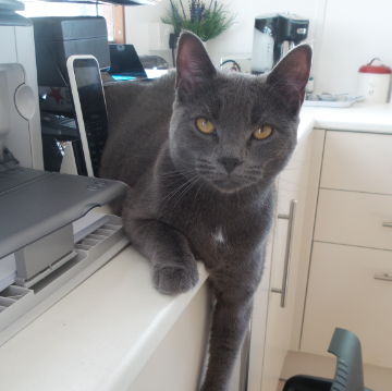 Chartreux Cat at Hickstead Lodge Cattery