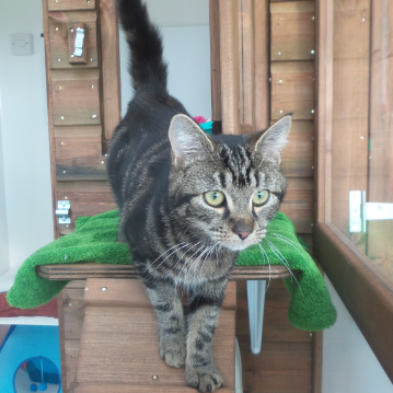 Curious Tabby at Hickstead Lodge Cattery