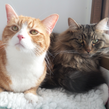 Ginger and Long Hair Cats at Hickstead Lodge Cattery