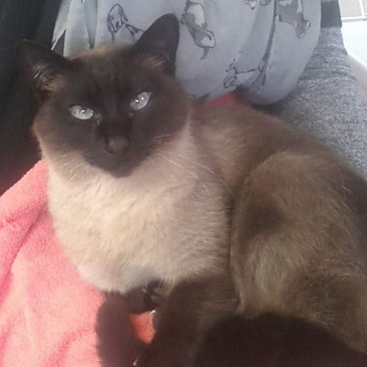 Lily a Tonkinese at Hickstead Lodge Cattery