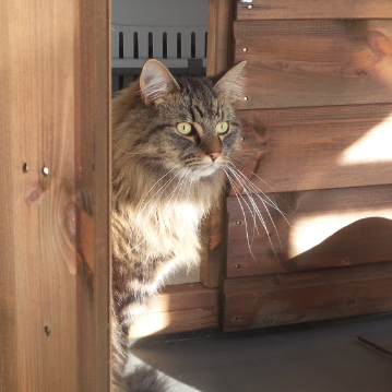British Long Hair at Hickstead Lodge Cattery