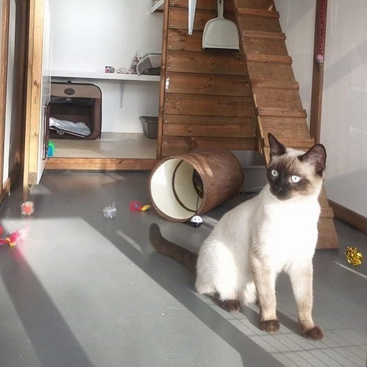 Sid a Ragdoll X Burmese at Hickstead Lodge Cattery